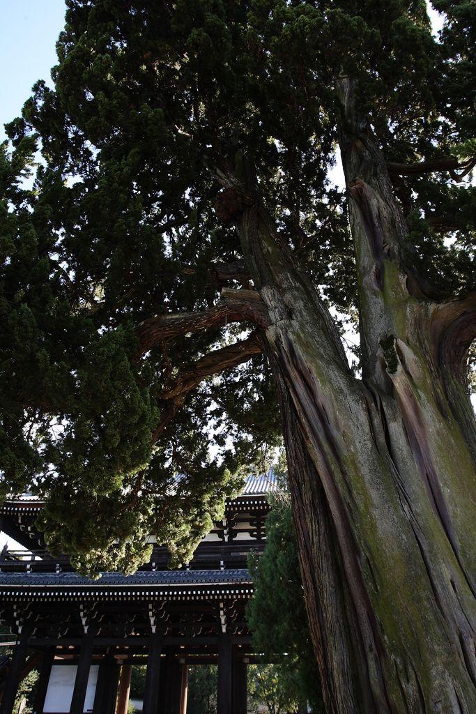 Old tree Tofukuji Temple, Kyoto.