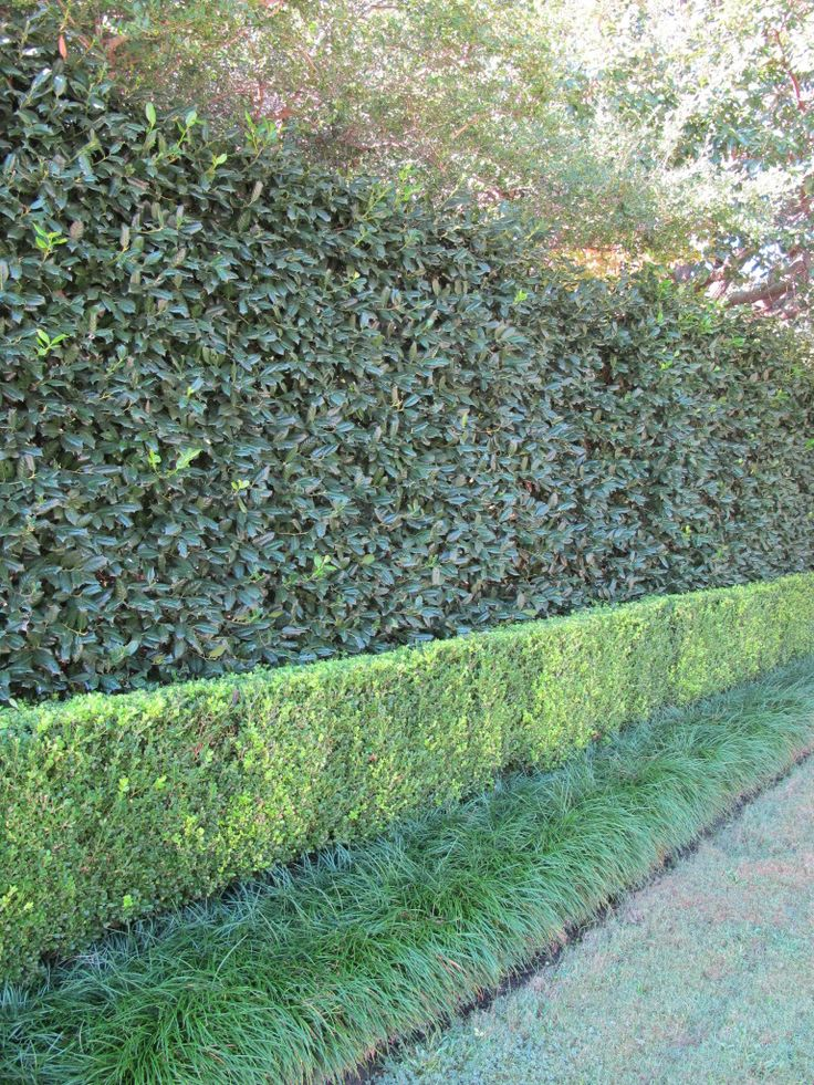 Hedge Bushes: Triple Hedge Of Holly, Boxwood And Monkey Grass!