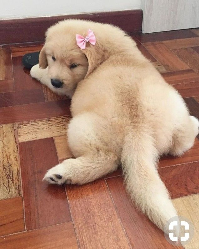 Pin By Cheryl Kelly On Fight 4 Animal Rights Puppies Retriever Puppy Cute Dogs