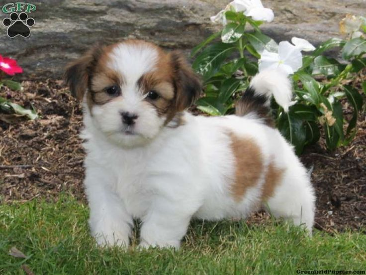 Melissa, Shichon puppy for sale from Quarryville, PA
