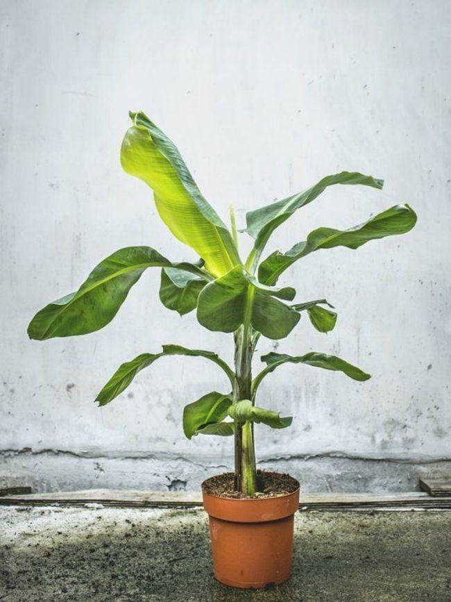 25 best ideas about bananenpflanze on pinterest z chten bananenbaum and pflanzen vermehrung. Black Bedroom Furniture Sets. Home Design Ideas