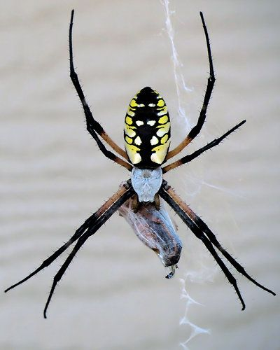 27 Best Spiders Of Wisconsin Images On Pinterest Hand Spinning Spiders And Wisconsin