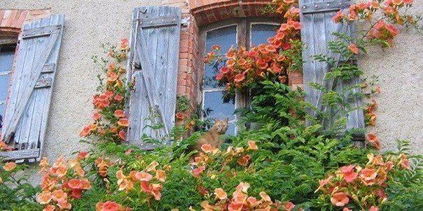 Кампсис – символ любви и преданности   Дачный сад и огород