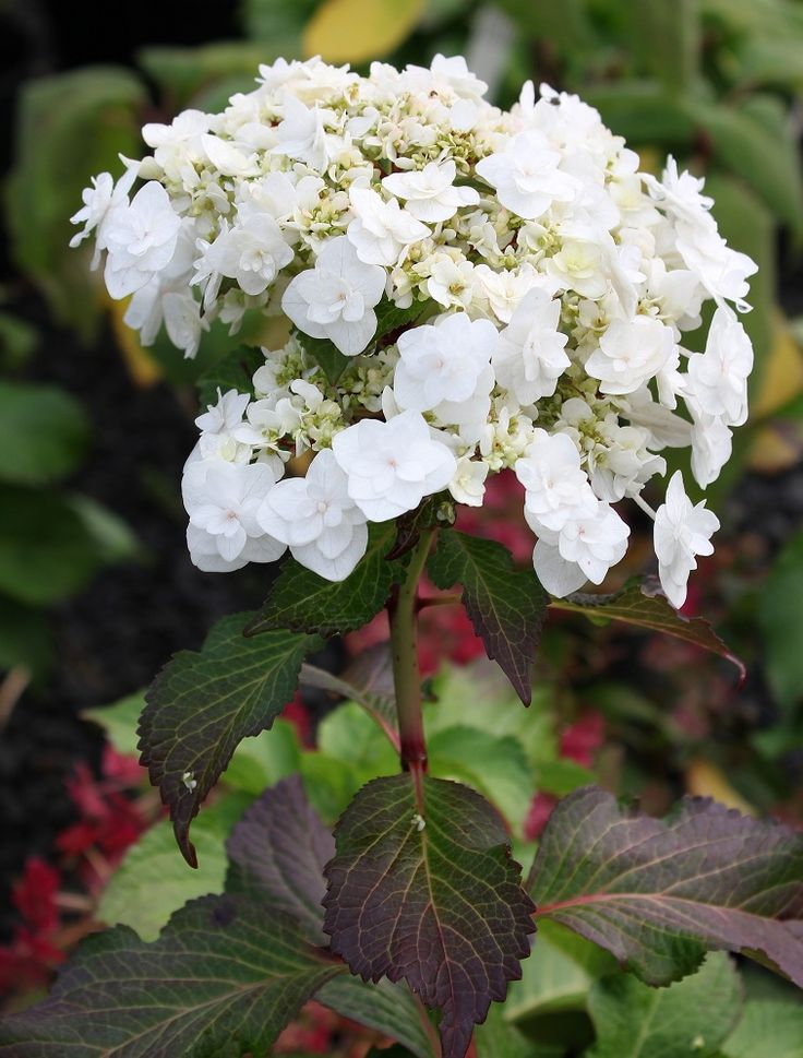446 Best Images About Hydrangea On Pinterest