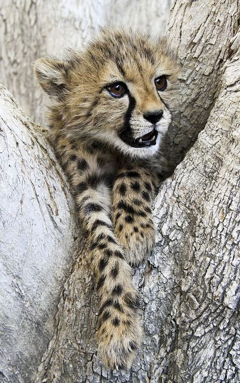 Africa | Cheetah Cub in a tree. Namibia | ©MB Photography♛   ♛~✿Ophelia Ryan ✿~♛