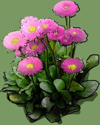 Common daisy 'Alice'