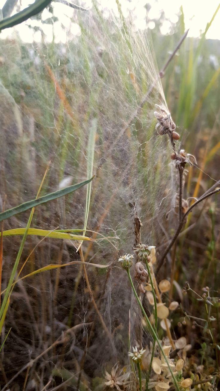 #Gümüşhane #doğadan #örümcekağı