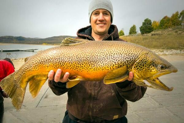A huge tiger trout from utah 39 s scofield reservoir if i for Trout fishing utah