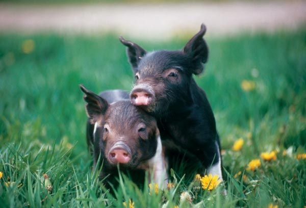 The Chester breed itself originated in Jefferson County, New York, then was bred with Yorkshire and Lincolnshire breeds from England. Between 1815 and 1818, a white boar was introduced in the mix, and the Chester White was born.  Read more: http://www.grit.com/animals/pig-breed-guide.aspx#ixzz37AMjWgLI  Pig Breed Guide
