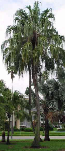 Ribbon Fan Palm Tree (Livistona australis)