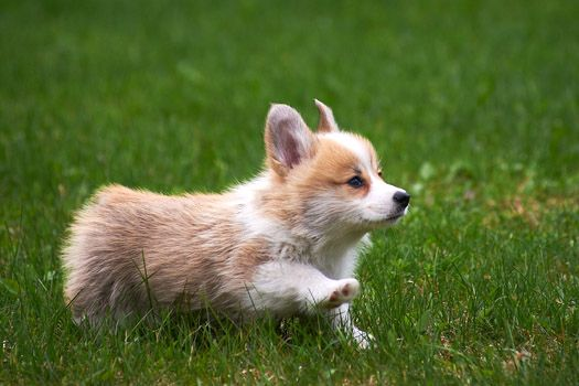 Welsh Corgi puppy, running as fast as those little legs can go!