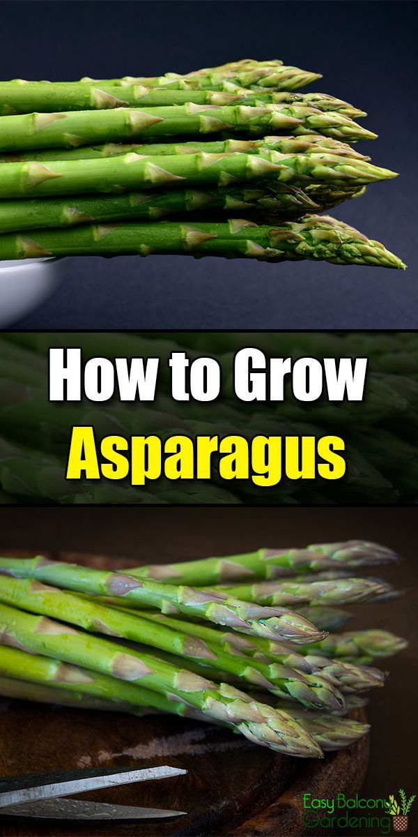 How To Grow Asparagus Growing Asparagus Organic Vegetable Garden Growing Vegetables