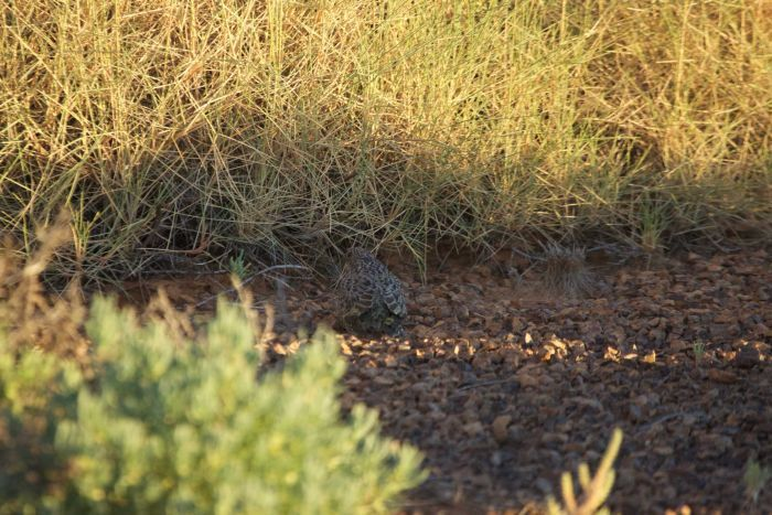 Researchers have recorded the first fledgling night parrot seen since the elusive bird was rediscovered in south-west Queensland in 2013.