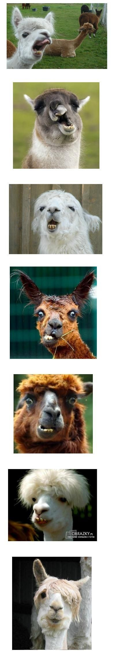 How can everyone not want a llama!