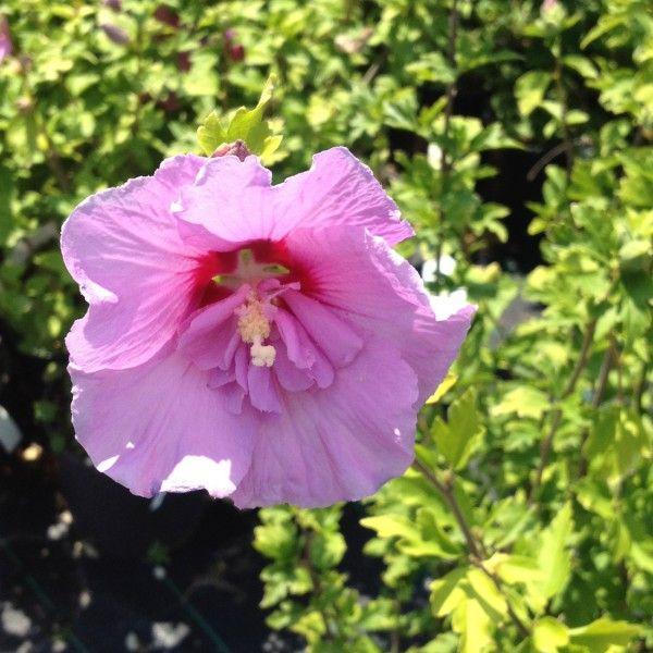 finest hibiscus syriacus rosa fiore doppio with hibiscus de jardin persistant. Black Bedroom Furniture Sets. Home Design Ideas