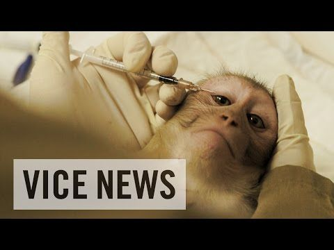 VICE News: Experimenting on Animals: Inside The Monkey Lab - VICE News gets rare access to Europe's largest primate testing facility, the Biomedical Primate Research Center (BPRC) in the Netherlands, where scientists try to find cures for the worst human diseases, while claiming to provide unparalleled care for the monkeys in the hope they live the most animal friendly life before and during testing.
