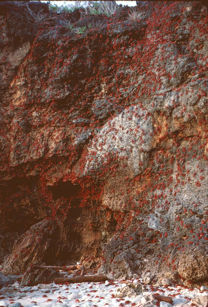 Red crab migration | Christmas Island National Park - crabs climb down cliff to reach the sea.