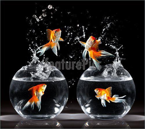 Saltos de peces de colores