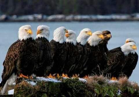 Jovens águias