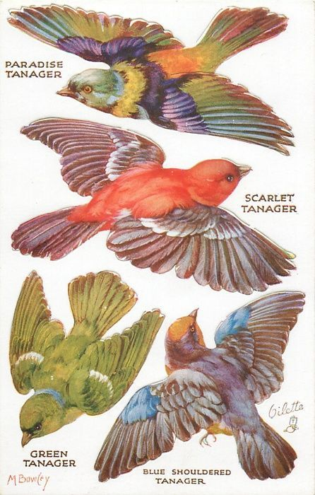 PARADISE TANAGER, SCARLET TANAGER, GREEN TANAGER, BLUE SHOULDERED TANAGER: