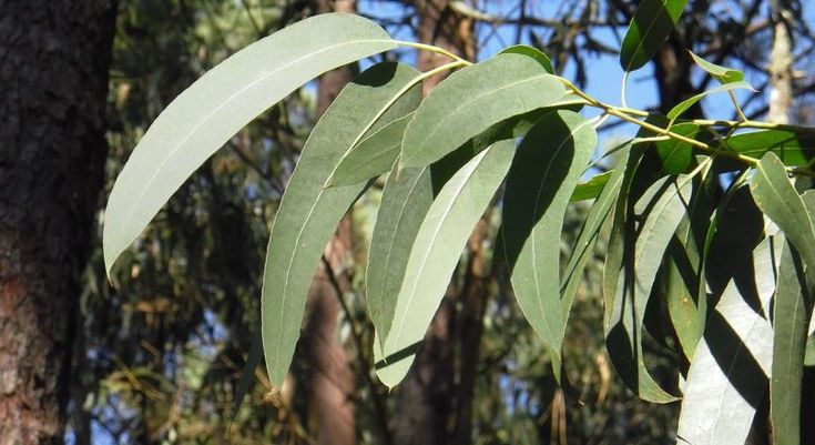 How To Use Eucalyptus Oil For Sinus And Nasal Congestion?