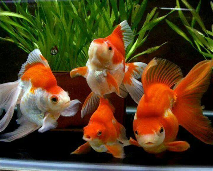 17 best images about kois und goldfische on pinterest for Koi und goldfische