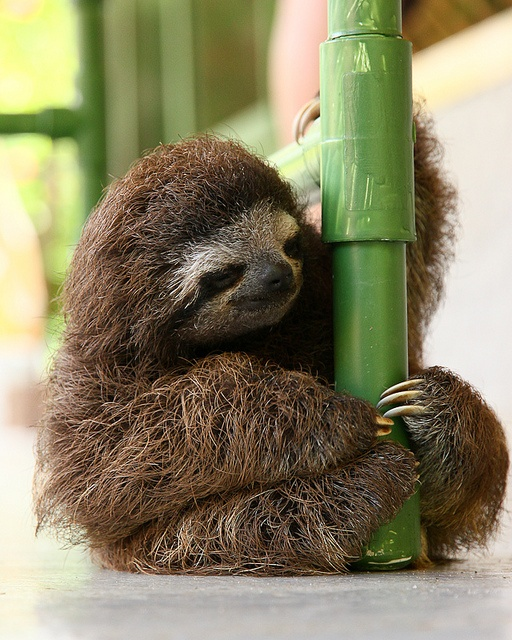 Baby Brown-throated sloth, Near Cahuite, Costa Rica   by Chris Liberty, via Flickr