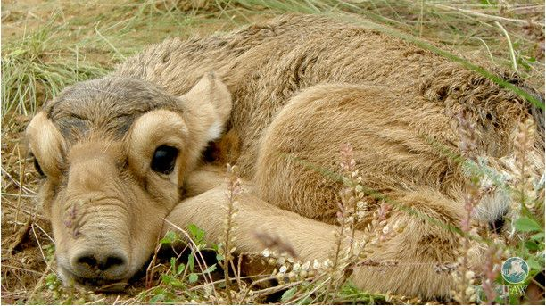 Er zijn gelukkig veel saiga-kalfjes geboren op de steppe in Rusland! Nu werken we hard aan de bescherming van deze zeldzame dieren.