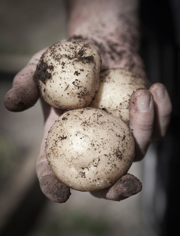 Male gardener holding freshly dug potatoes from a personal project Home Grown.