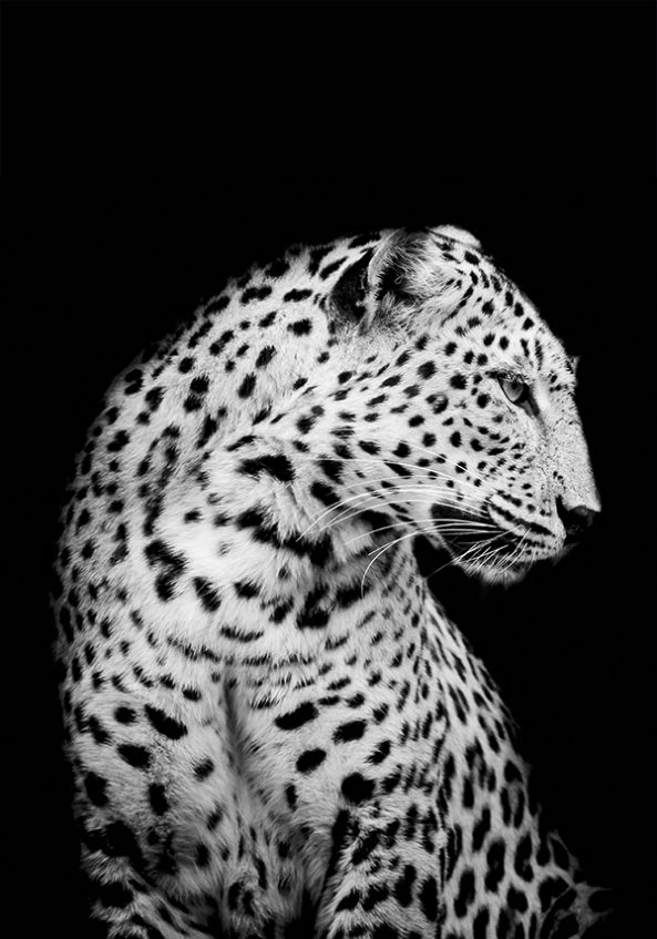 Plakat af Sne Leopard fra LACUVA.com