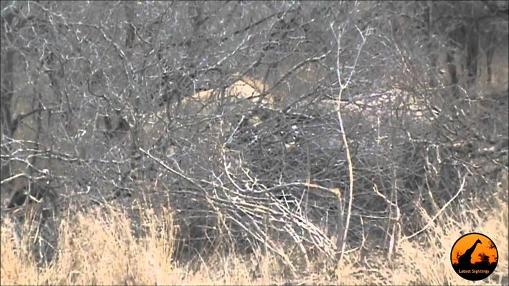 Lions Eating A Rhino Kill   28th September 2012   Latest Sightings