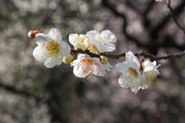 Ume Blüte