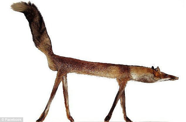 The very rare arrow bodied fox...