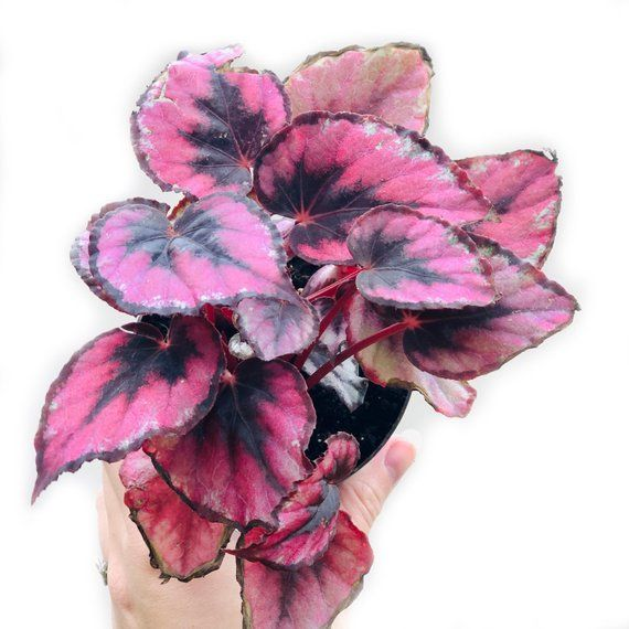 Red Kiss Begonias Begonia Rex Cultorum Group Begonia