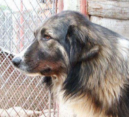 Carpathian Shepherd dog photo   Carpathian Shepherd Dog
