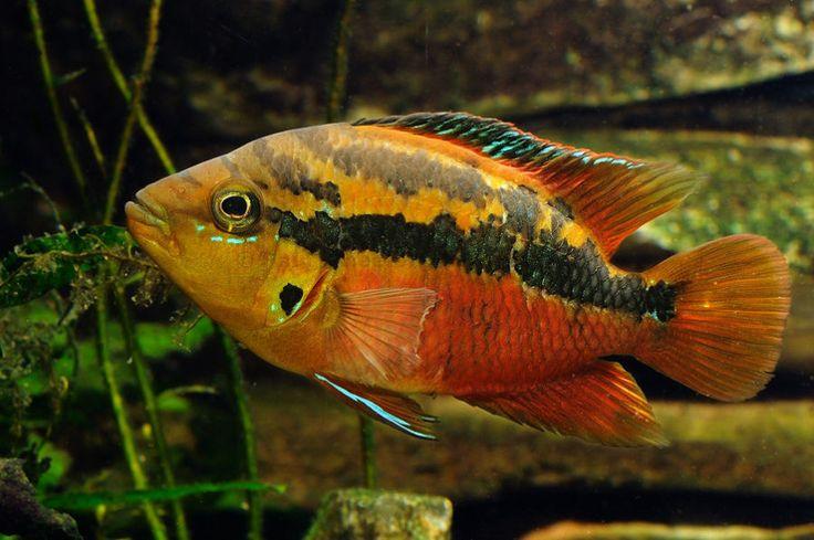 Salvini Fish