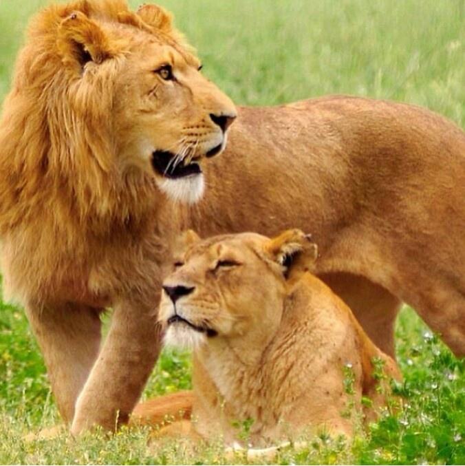 He da king of da jungle I'm his lioness