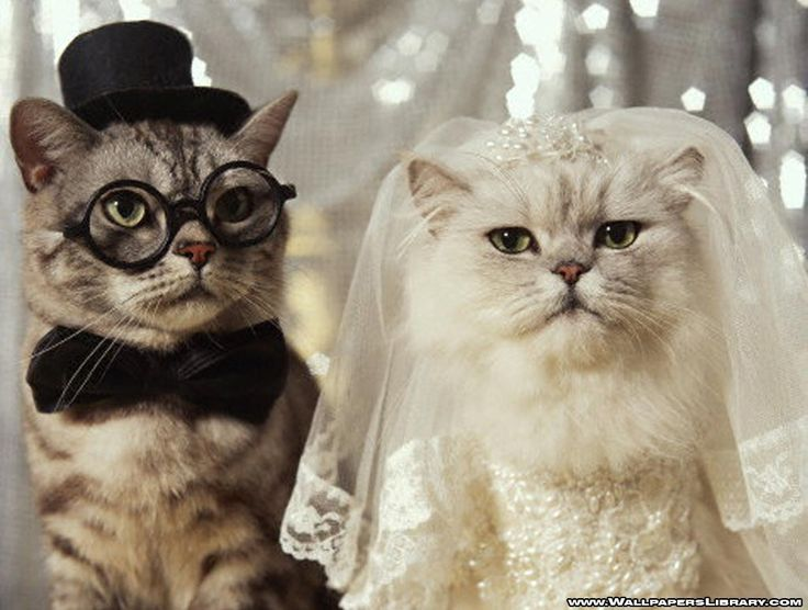 :): Cats, Cat Wedding, Funny Cat, Weddings, The Bride, Kitty, Persian Cat, Grooms, Animal