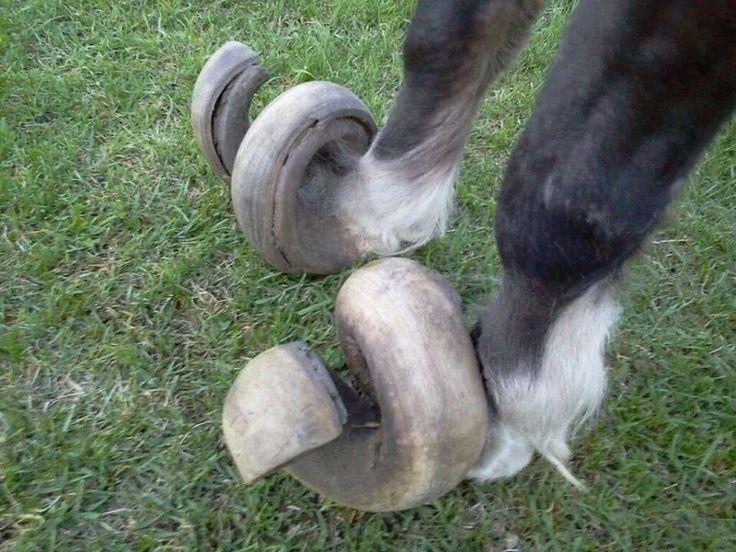 23. Por que recortar los cascos de los caballos