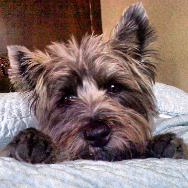Cairn Terrier... Not as innocent as he looks!