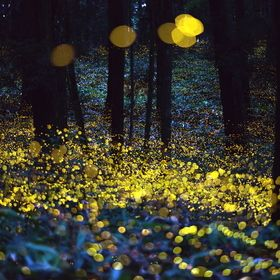 Fireflies- amazing photographer / Tsuneaki Hiramatsu