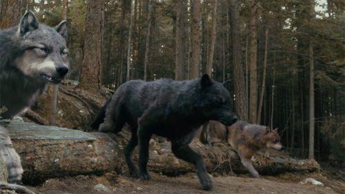 Werewolf Twilight Pack Wolves, shape-shifters...