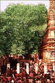 The Bodhi Tree. India