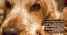 Dr. Jean Dodds' Pet Health Resource Blog | Immune-Mediated Hemolytic Anemia and Companion...