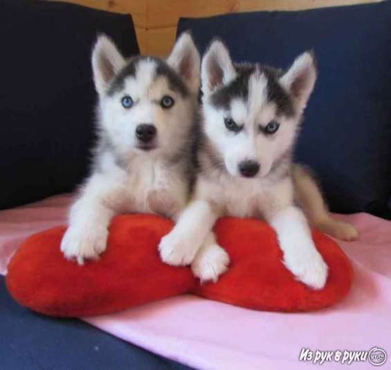 Regalo cachorros husky siberiano para adopción