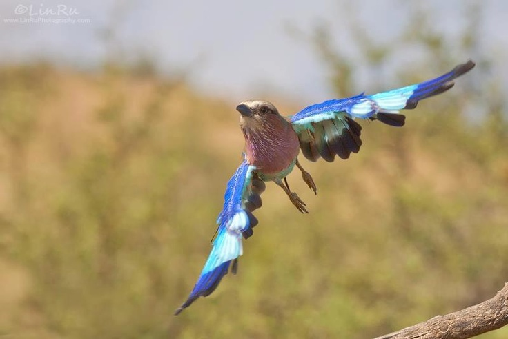 Roller Take-off - A lilac-breasted roller from Pilanesberg Game Reserve - Rudi van den Heever
