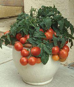 Las mejores variedades de tomates para cultivar en maceta....
