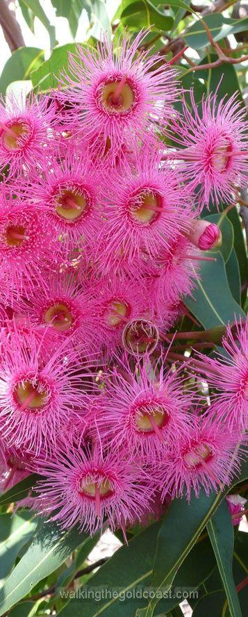 Pink Gum Trees Flowers, Botanical Gardens, Gold Coast, QLD, Australia