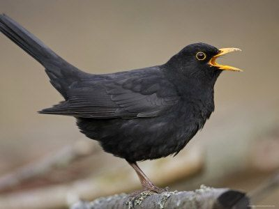 Blackbird: distinguished from a raven by his happy yellow beak and smaller size.
