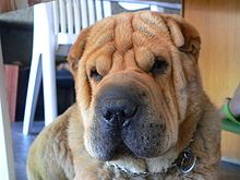 Min-Pei AKA Shar Pei: Chinese Shar Pei Too, Shar Pei S Wrinkles, Dogs, Adorable Animals, Dog Breeds, File Sushisharpei Jpg